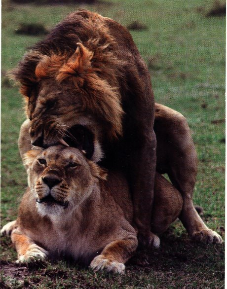 Pictures Dogs Mating With Humans Kootation Animals Picture